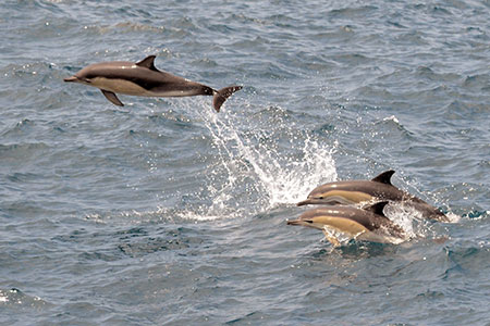 Dolphins, such as these common dolphins (Delphinus spp.), travel in large groups, therefore, sound is important for communication to maintain group structure. Photo courtesy of NOAA/NEFSC.