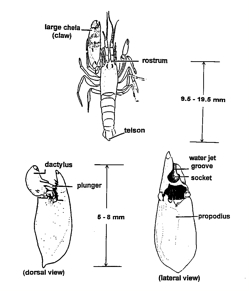 Snapping Shrimp – Discovery of Sound in the Sea