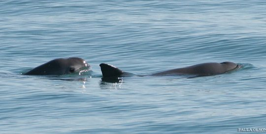 Photo of vaquita porpoises at the surface