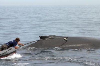 Scientist tagging a whale with an acoustic tag.