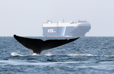 Image showing a whale's fluke (whale is diving) with a large cargo ship on the horizon.