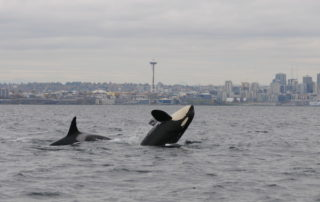 Image of killer whales in waters off Seattle, WA, USA.