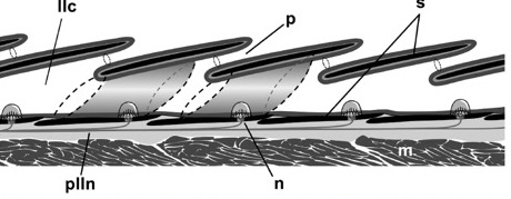 Diagram of the lateral line of bony fishes
